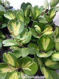 Hoya kerrii, Wax Hearts, Sweetheart Hoya, Valentine Hoya, Heart leaf  Click to see full-size image