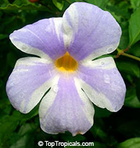 Thunbergia erecta Lavender Ice (Variegated Flower)  Click to see full-size image