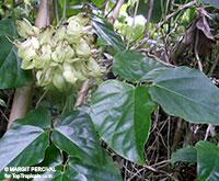Mucuna gigantea, White Jade Vine, Hamburger Bean, Seabean, Burny Bean   Click to see full-size image