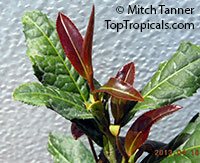 Camellia sinensis var Rosea - Tea (Red leaf)