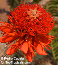Erythrina abyssinica, Erythrina tomentosa, Coral Tree  Click to see full-size image