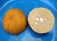 Citrus limettiodes, Indian Sweet Lime, Palestinian Lime, Lima Dulce, Pinata Lime