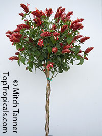 Justicia brandegeana Red, Red Shrimp Plant  Click to see full-size image