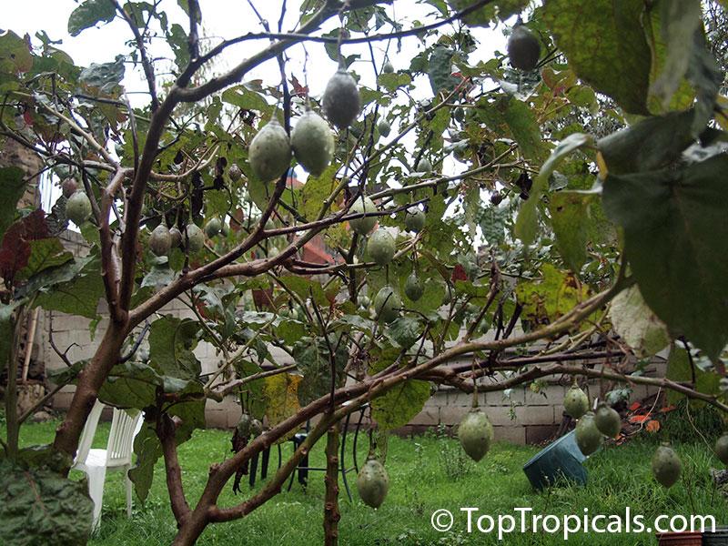 Christmas Tree Seedlings For Sale