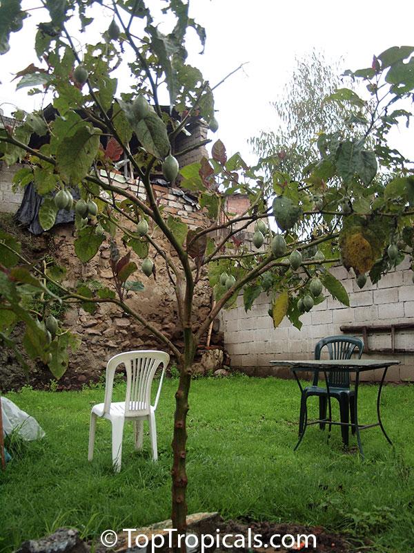 Cyphomandra crassicaulis, Cyphomandra betacea, Solanum ...