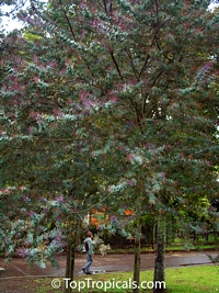 Acacia baileyana 'Purpurea', Purple Fernleaf Acacia  Click to see full-size image
