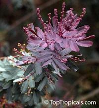 Acacia baileyana 'Purpurea', Purple Fernleaf AcaciaClick to see full-size image