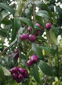 Syzygium cumini, Syzygium jambolanum, Eugenia cumini, Eugenia jambolana, Jambolan, Java Plum, Jamun, Naval, Neredu, Indian AllspiceClick to see full-size image