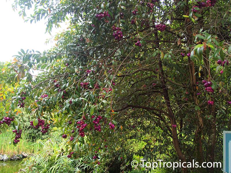 Syzygium Cumini Syzygium Jambolanum Eugenia Cumini