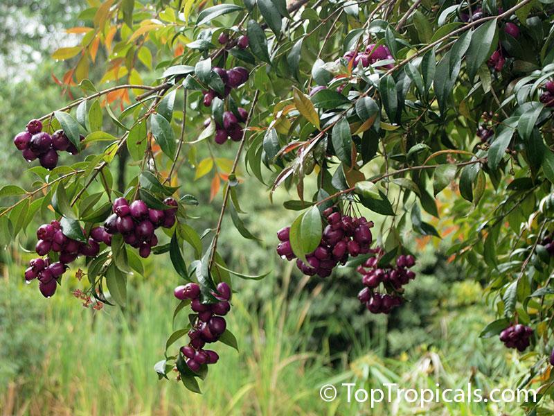 Various - Goa Fruits Volume 01