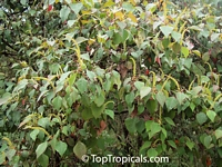 Sapium sp., Sapium  Click to see full-size image