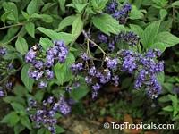 Heliotropium peruviana, Heliotropium arborescens, Turnsole, Cherry PieClick to see full-size image