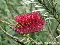 Callistemon viminalis, Bottlebrush  Click to see full-size image