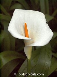 Zantedeschia aethiopica, Calla aethiopica, Arum Lily, Calla LilyClick to see full-size image