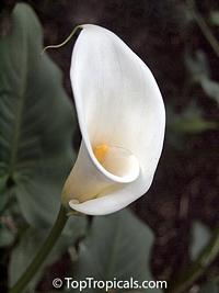 Zantedeschia aethiopica, Calla aethiopica, Arum Lily, Calla Lily  Click to see full-size image