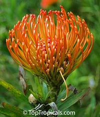 Leucospermum glabrum - seeds  Click to see full-size image