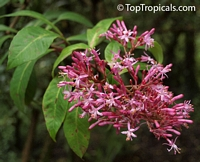 Fuchsia arborescens, Lilac FuchsiaClick to see full-size image