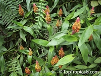 Elleanthus myrosmatis, Elleanthus  Click to see full-size image