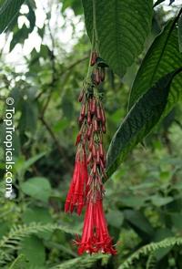 Fuchsia boliviana, Bolivian Fuchsia Click to see full-size image