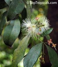 Syzygium cumini, Syzygium jambolanum, Eugenia cumini, Eugenia jambolana, Jambolan, Java Plum, Jamun, Naval, Neredu, Indian Allspice  Click to see full-size image