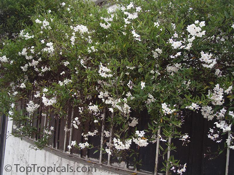 jasminoides  White Potato Vine  Jasmine Nightshade - TopTropicals com