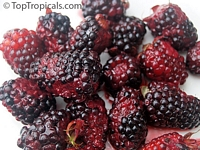 Rubus hybrid, Brazos Blackberry, Black Raspberry  Click to see full-size image