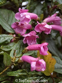 Unknown 82, Weigela Tree  Click to see full-size image