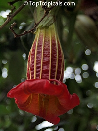 Brugmansia sanguinea, Datura sanguinea, Red Angels Trumpet, Red Datura, Eagle Tree  Click to see full-size image