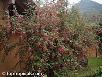 Fuchsia regia, Climbing Fuchsia  Click to see full-size image