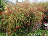 Fuchsia regia, Climbing FuchsiaClick to see full-size image