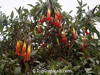 Brugmansia sanguinea, Red Angels Trumpet, Red Datura, Eagle Tree