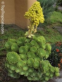 Aeonium arboreum, Sempervivum arboreum, Tree Aeonium, Houseleek Tree, Irish Rose  Click to see full-size image