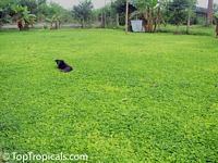 Arachis glabrata, Golden Glory, Ornamental Peanut Grass  Click to see full-size image