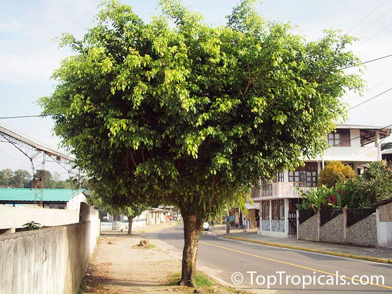 ficus benjamina benjamin fig benjamin tree