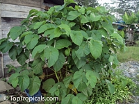 Piper auritum, Root Beer Plant, Mexican Pepperleaf, Hoja Santa , Veracruz Pepper, False Kava-Kava, Sacred Pepper  Click to see full-size image