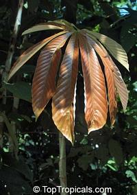Cecropia sp., Cecropia  Click to see full-size image