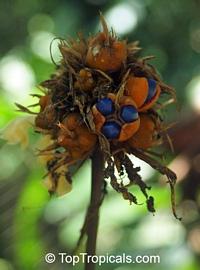 Calathea altissima, Goeppertia altissima, CalatheaClick to see full-size image