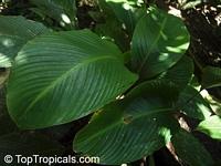 Calathea altissima, Goeppertia altissima, Calathea  Click to see full-size image