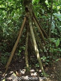 Socratea exorrhiza, Walking Palm, Cashapona  Click to see full-size image