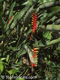 Heliconia rostrata, Bihai rostrata, Lobster Claw, Parrot's beak  Click to see full-size image