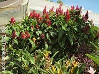 Megaskepasma erythrochlamys, Brazilian Plume, Brazilian Red Cloak  Click to see full-size image