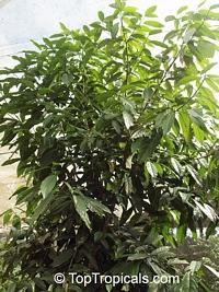 Bunchosia glandulifera (?), Wild Peanut TreeClick to see full-size image