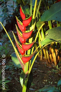Heliconia orthotricha, Heliconia, Lobster claw  Click to see full-size image