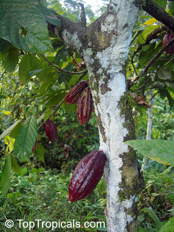 Body Central Sale >> Theobroma cacao, Chocolate Tree, Cacao, Cocoa Tree - TopTropicals.com