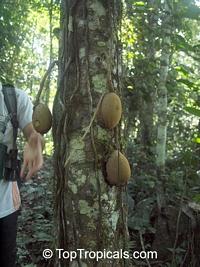 Grias neuberthii, Piton Tree, Wild Mango, SanchamangueClick to see full-size image