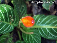 Pearcea hypocyrtiflora, Gloxinia hypocyrtiflora, Pearcea  Click to see full-size image