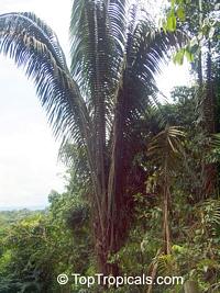 Oenocarpus bataua, Jessenia polycarpa, Patawa, Sehe, Hungurahua, UngurahuiClick to see full-size image