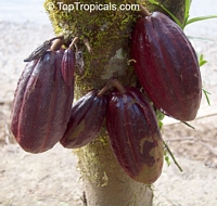 Theobroma cacao - Red Chocolate tree - w/express shipping  Click to see full-size image