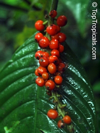 Psychotria sp., Psychotria  Click to see full-size image