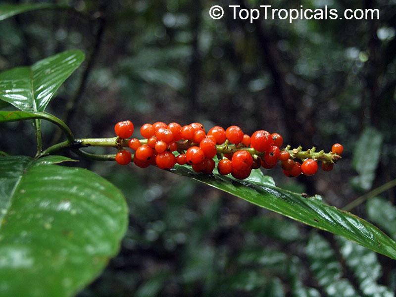 Psychotria sp., Psychotria - TopTropicals.com
